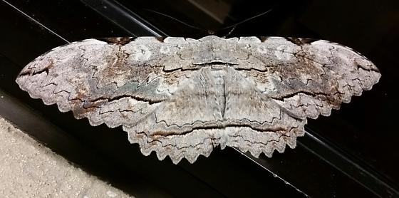 Moth-female black witch? Markings don't seem to match - Thysania zenobia
