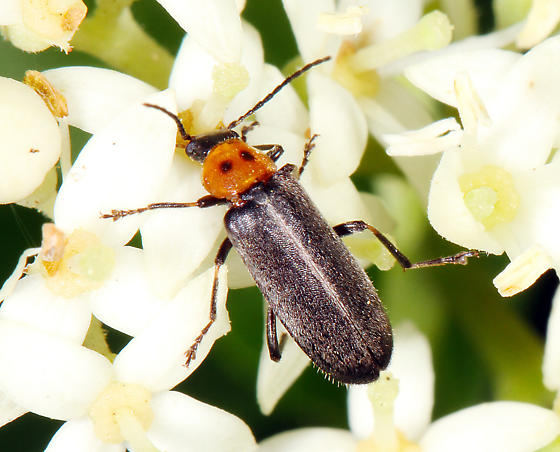 unidentified Coleoptera - Osphya varians