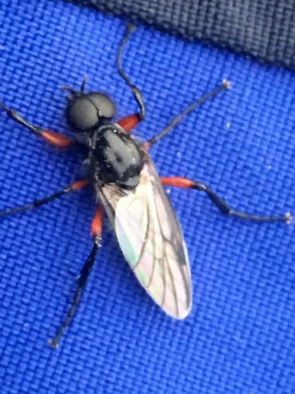 Neorthacheta dissimilis? - Bibio femoratus - male