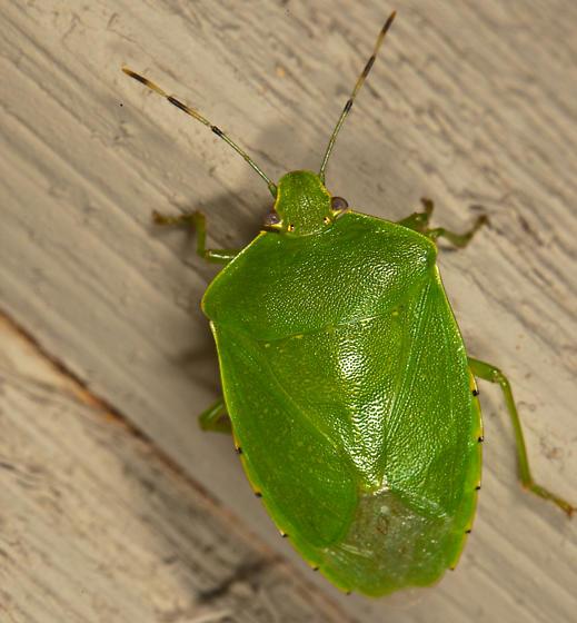Green Stinkbug,  Green Stink Bug, Chinavia hilaris, = Acrosternum hiliaris - Chinavia hilaris