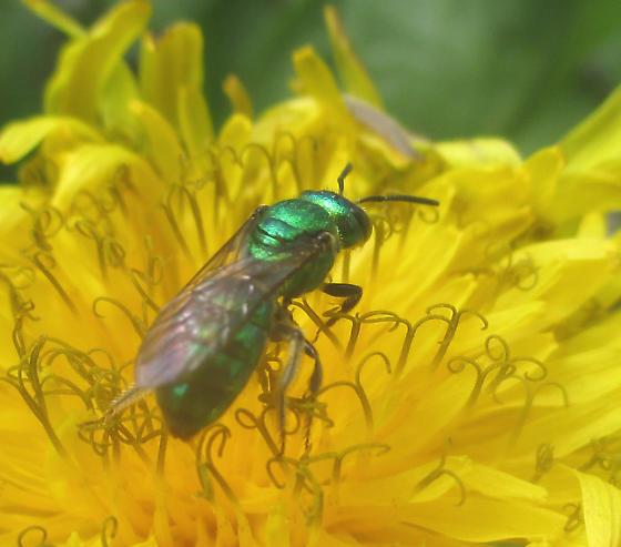 Halictidae, Pure Green Augochlora - Augochlora pura