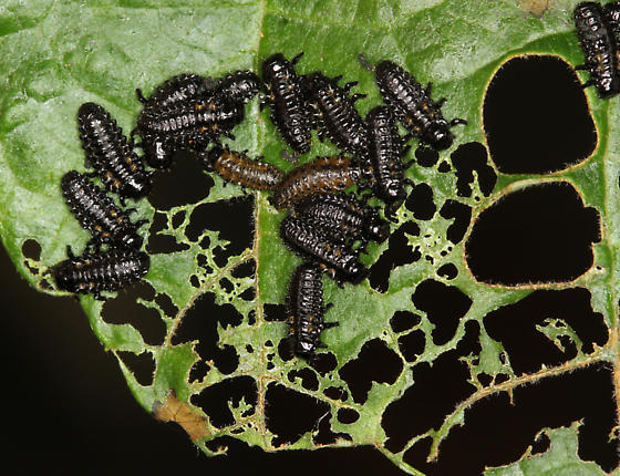 Knab's Leaf Beetle larva - Chrysomela