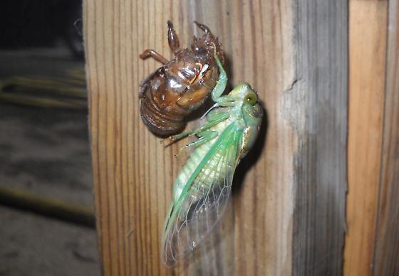 Fresh Cicada - Neotibicen tibicen