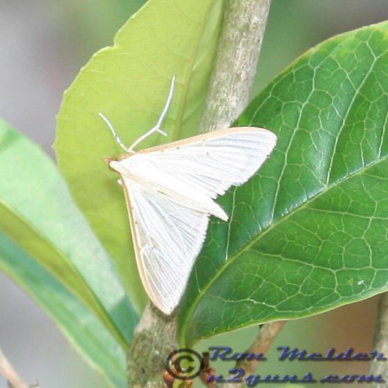 Moth 01 - Palpita quadristigmalis