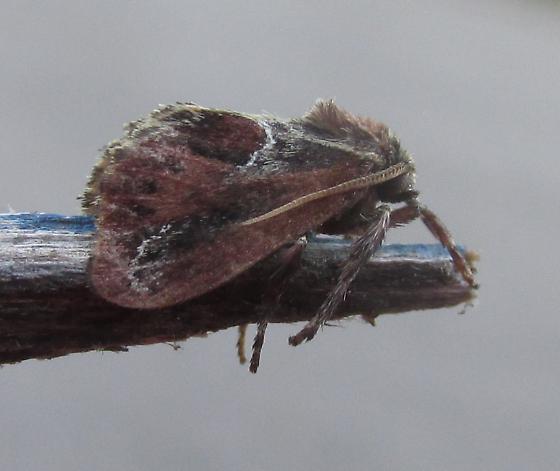 Species Adoneta spinuloides - Purple-crested Slug Moth - Hodges#4685 - Adoneta spinuloides