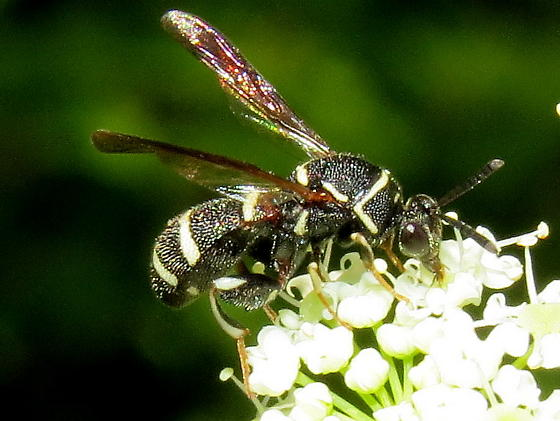 male Leucospis affinis? - Leucospis affinis - male
