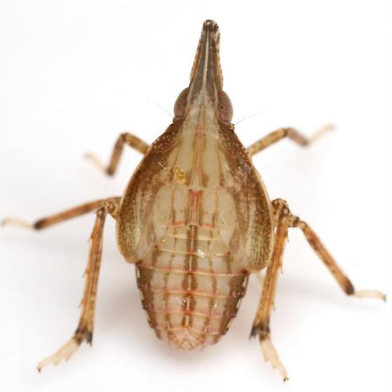 Rhynchomitra - Rhynchomitra microrhina