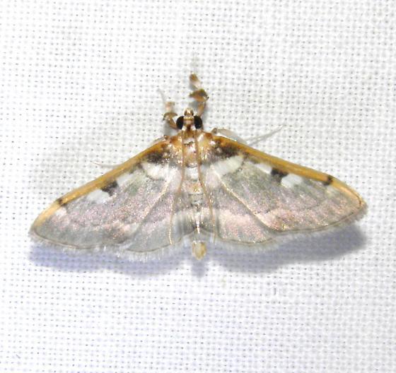 Moth - Apilocrocis pimalis