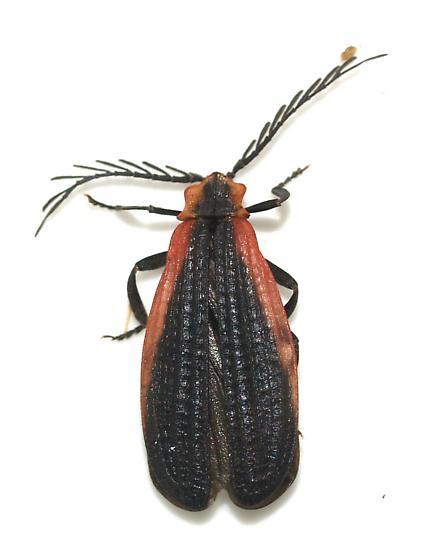 netwing - Caenia amplicornis