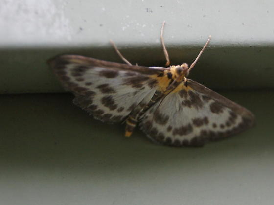 Moth or Butterfly ?  - Anania hortulata