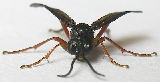 Common Sawfly - Tenthredo