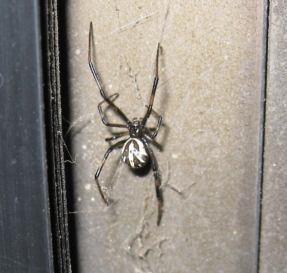 Black Spider with White Markings On Back  - Latrodectus hesperus