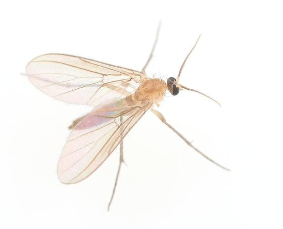 Fly - Diadocidia ferruginosa - female