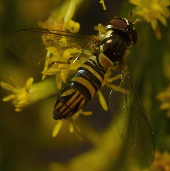 Syrphidae - Allograpta obliqua