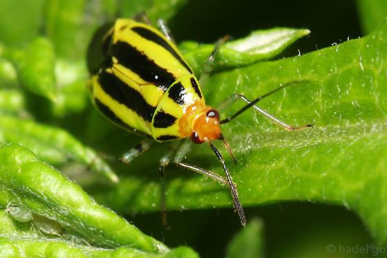 Poecilocapsus lineatus