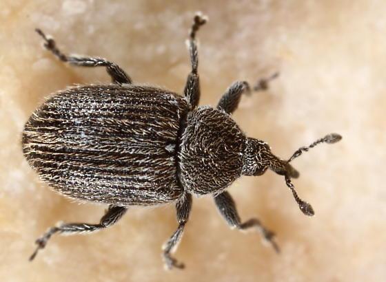 Weevil - Rhinusa antirrhini