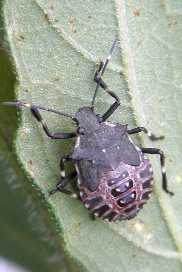 Brown Marmorated Stink Bug Nymph - Halyomorpha halys