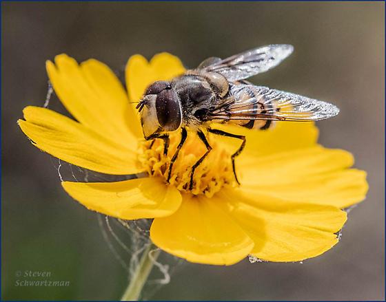 Fly on Navajo daisy flower head - Copestylum avidum - male