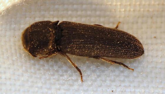 Rare False Click Beetle - Melasis pectinicornis