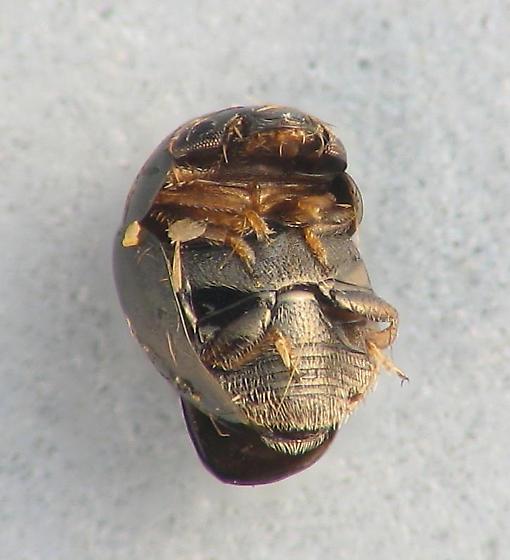teny tiny beetle - Cybocephalus nigritulus