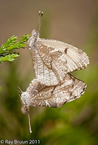 Gray Marble - Anthocharis lanceolata - male - female