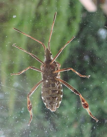 western Conifer Seed Bug (ventral) - Leptoglossus occidentalis