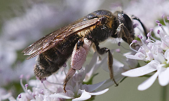 Bee with pink pollen - Andrena alleghaniensis - female