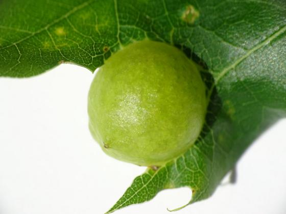 Andricus quercusostensackenii (Amphibolips quercusostensackenii) - Amphibolips quercusostensackenii