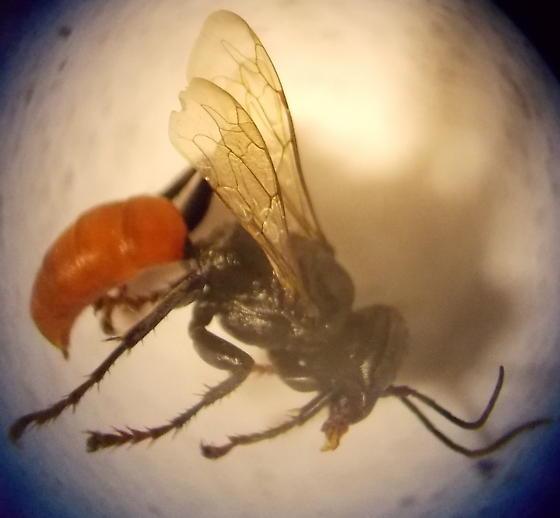 Hymenoptera unidentified - female