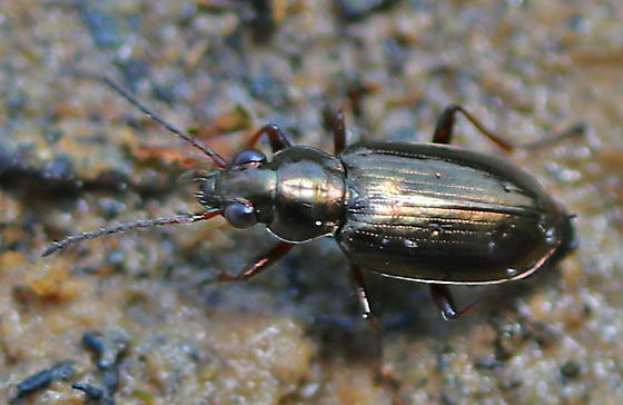 Small copper-colored ground beetle - Bembidion americanum