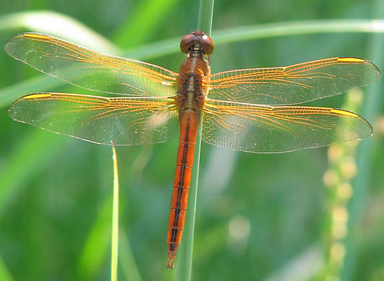 Orangey Dragonfly - Libellula needhami - male