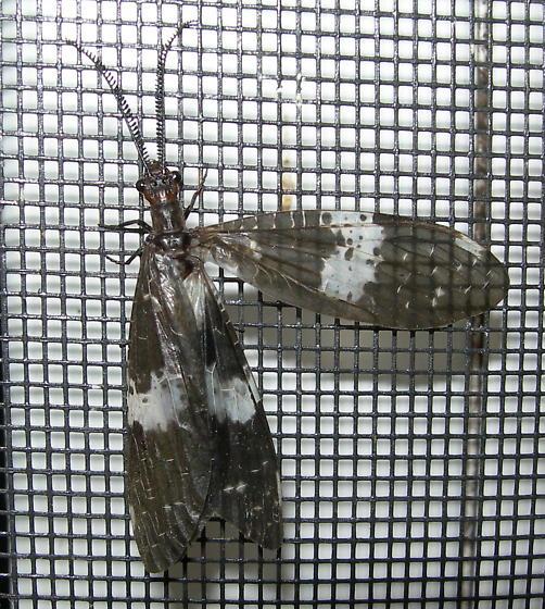 Dark Fishfly - Nigronia fasciata