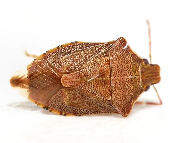 Hemipteran - Podisus brevispinus