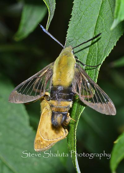 Clearwing and Skipper mating? - Hemaris diffinis