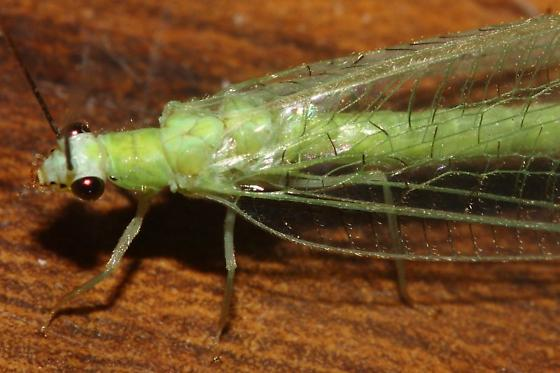 Green Lacewing? - Chrysopa nigricornis