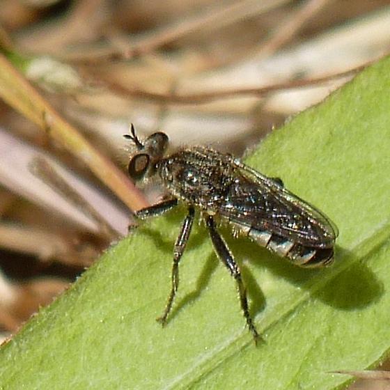 Unknown Dip - Zabrops wilcoxi - female