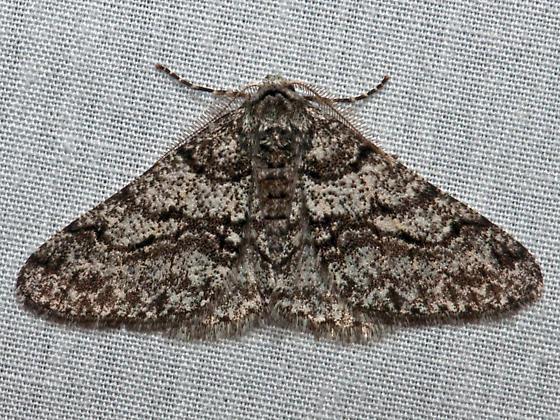 Half-Wing - Hodges#6658 - Phigalia titea - male
