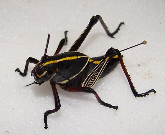 Horse lubber nymph grasshopper - Taeniopoda eques - female