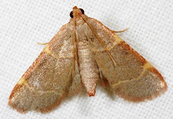 Dolichomia binodulalis - Hypsopygia binodulalis