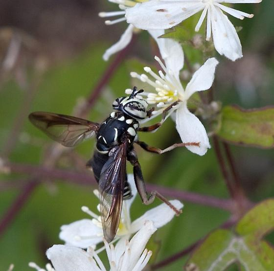 Looking for help to ID this Black and White Hornet (Wasp)? - Spilomyia fusca