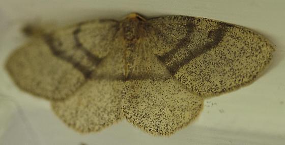 Unknown Moth-5 - Lambdina fervidaria