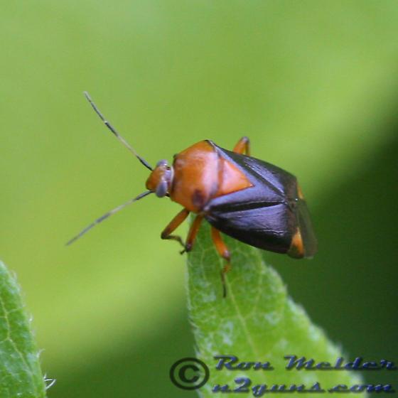 Plant Bug 02 - Neocapsus cuneatus