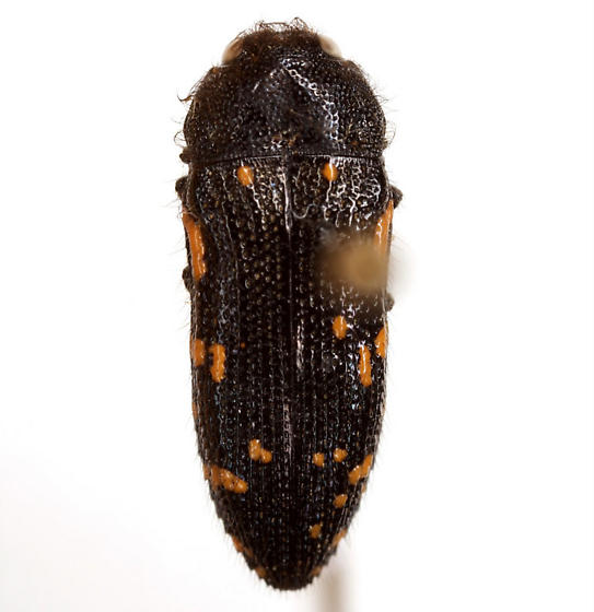 Acmaeodera ornata (Fabricius) - Acmaeodera ornata