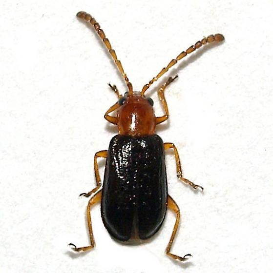Leaf Beetle - Luperosoma subsulcatum - male