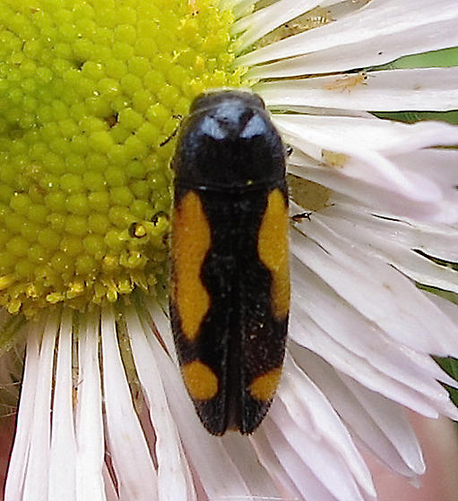Beetle - Ptosima gibbicollis