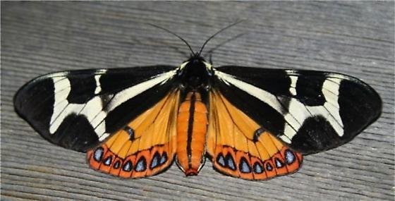 Northern Flag Moth - Dysschema howardi - female