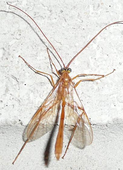 yellowish ichneumon - Enicospilus