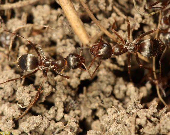 Ants - Formica montana - female