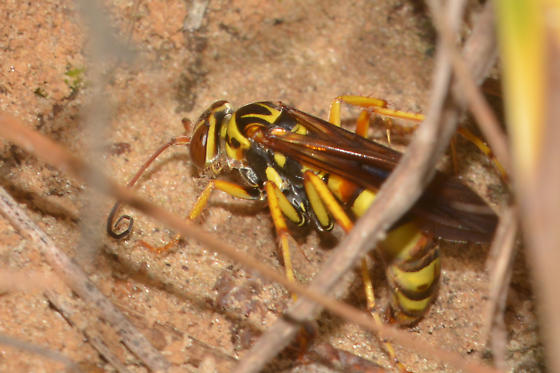 yellow wasp digging in sand - Poecilopompilus interruptus - female