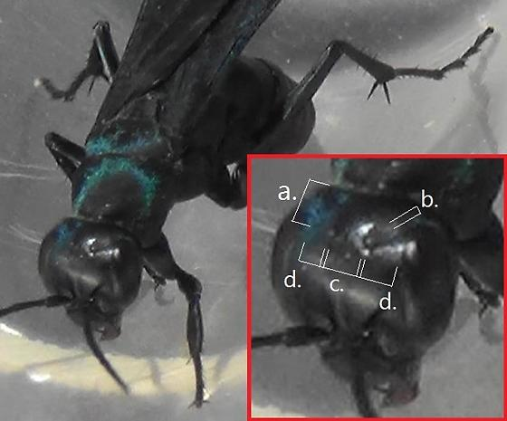 The Six Wasp Special - #1 of 6 (ocelli) - Psorthaspis planata - female